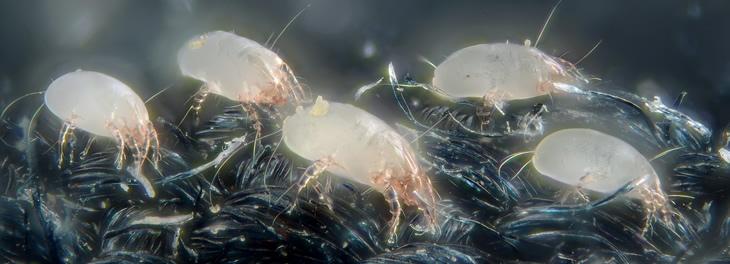 Allergia acaro allerigia acari allergia agli acari for Acari polvere
