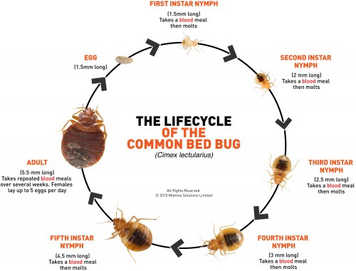 bed bug infestation timeline