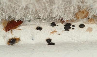 Cimici dei letti come riconoscerle e eliminarle definitivamente bioallergen - Insetti piccolissimi neri nel letto ...